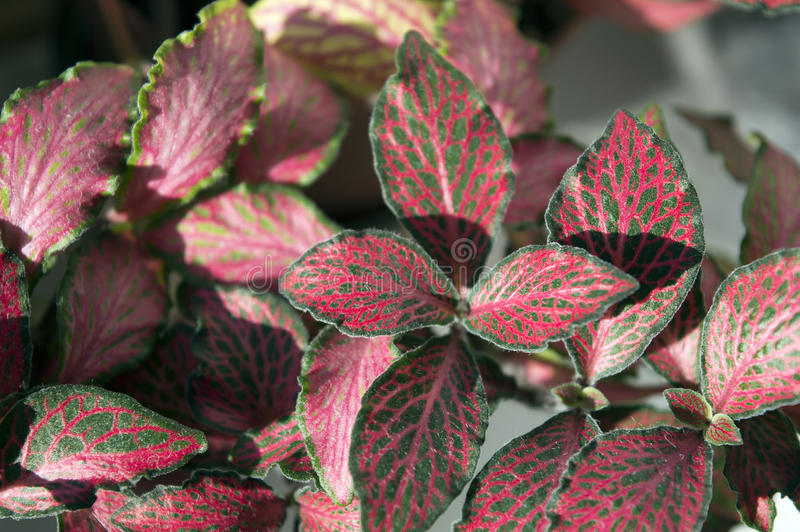 Nerve-plant fittonia with red veins stock image