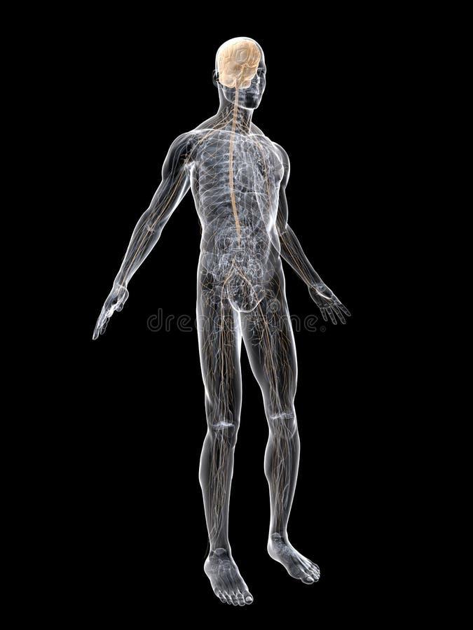Nerve system. 3d rendered anatomy illustration of the human nerve system stock illustration