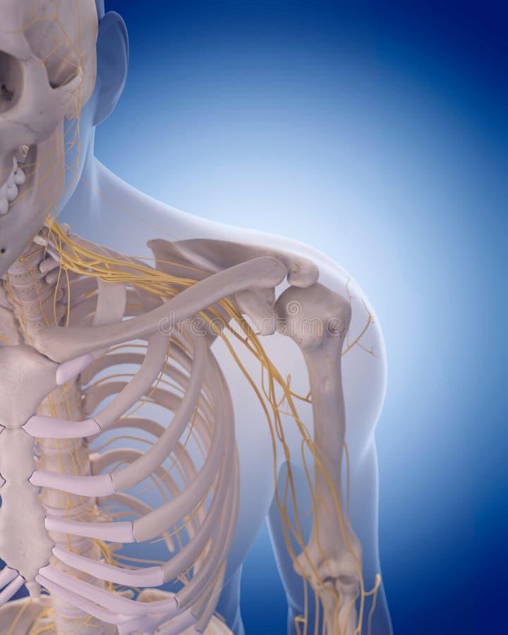 Nerven der Schulter stock abbildung. Illustration von brust - 58830227