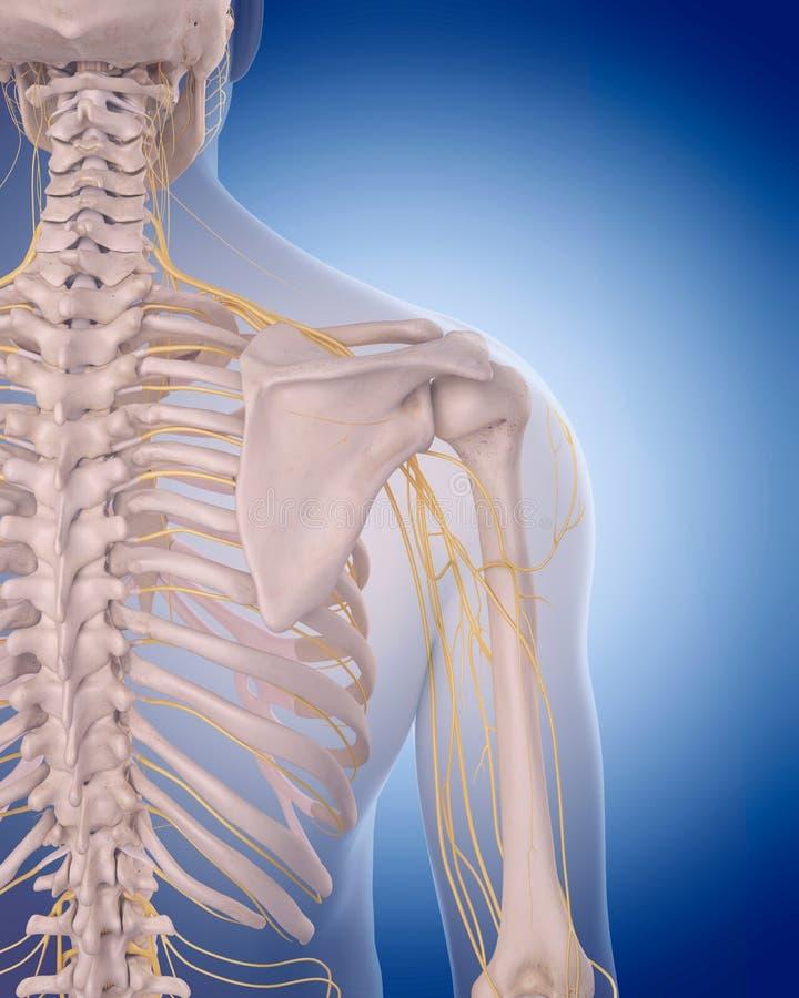 Tolle Schulter Anatomie Bild Fotos - Menschliche Anatomie Bilder ...
