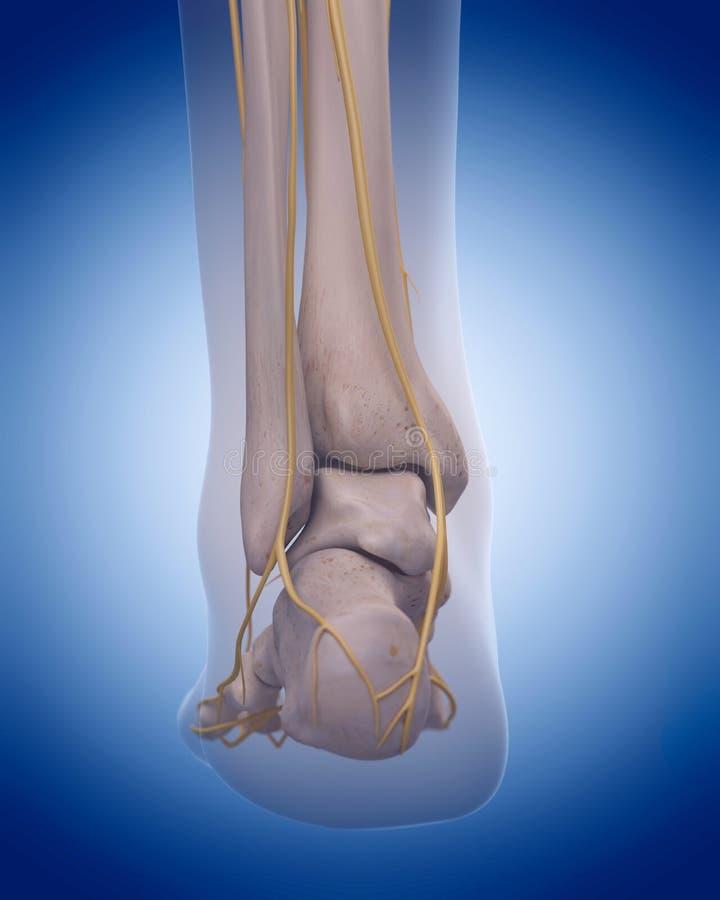 Nerven des Fußes stock abbildung. Illustration von karosserie - 58830170
