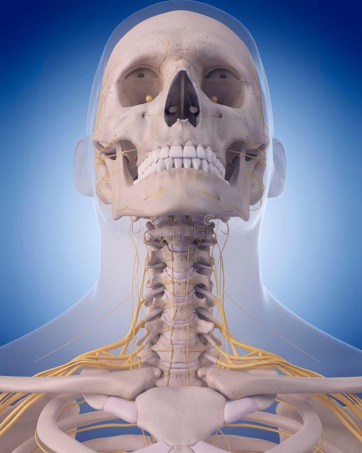 Nerven des Halses stock abbildung. Illustration von gesundheit ...