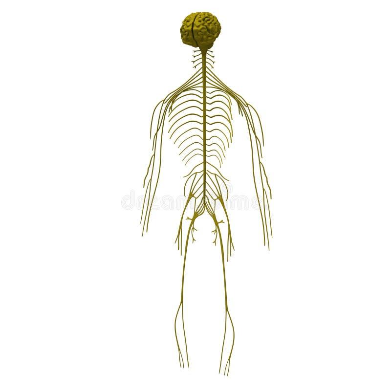 Nervensystem stock abbildung. Illustration von nerv, cerebrum - 10635416