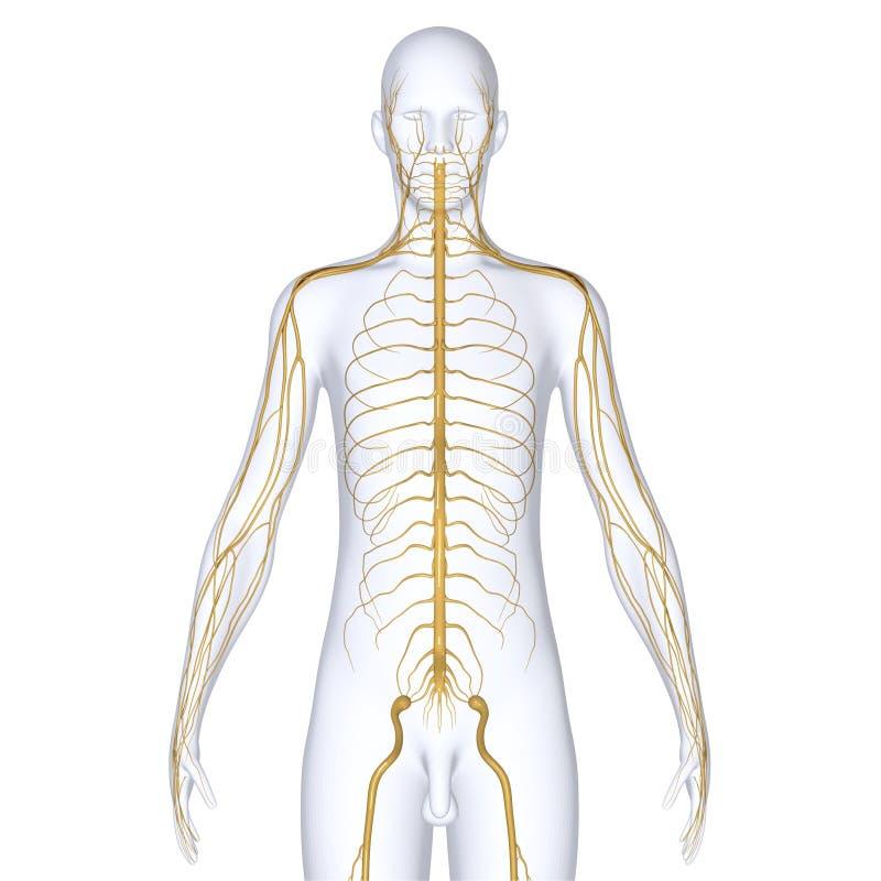 nerver vektor illustrationer