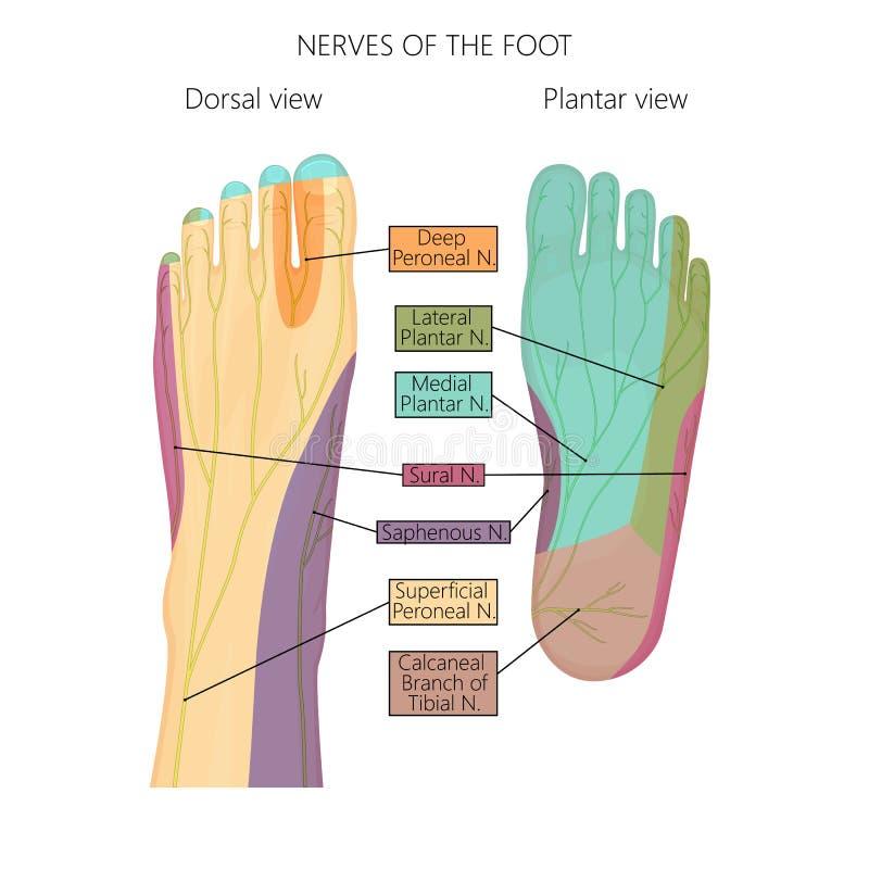Nerver av foten stock illustrationer