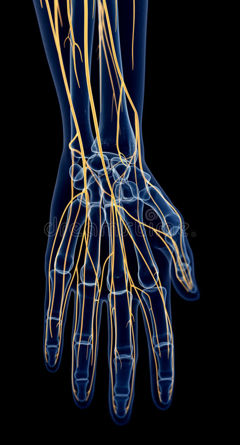 The nerves of the hand stock illustration. Illustration of rendering ...