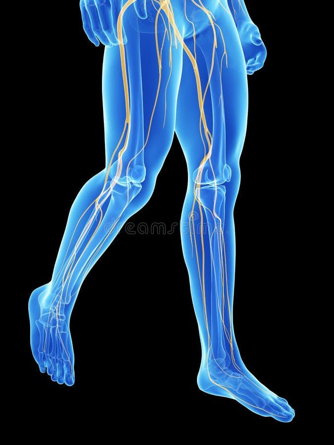 Nerves Of The Legs Stock Illustration Illustration Of Spine 30727925