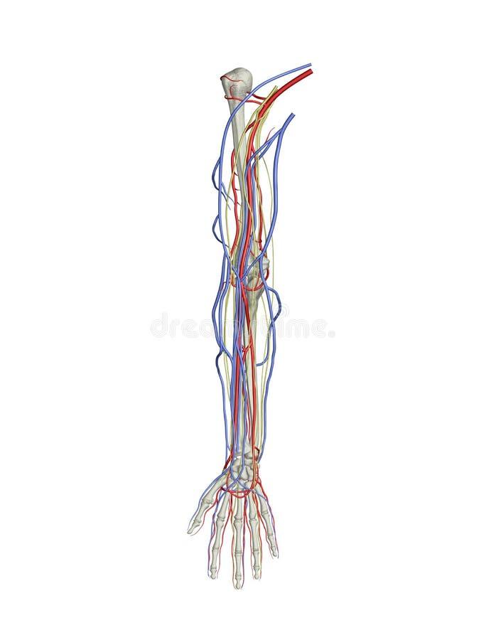 Nervi delle vene delle arterie del braccio royalty illustrazione gratis