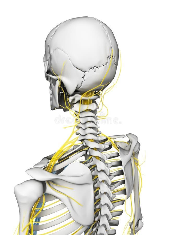 Nervi e scheletro illustrazione di stock