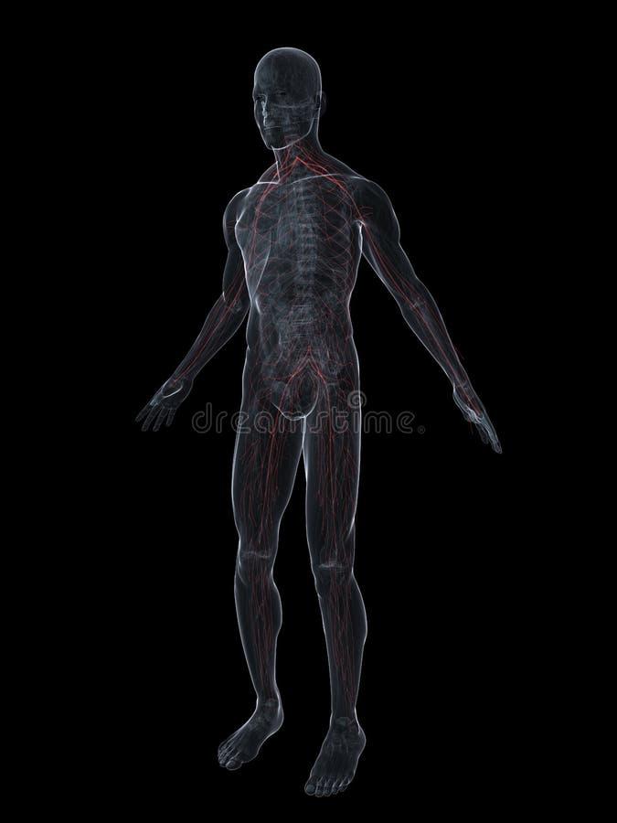 Nervi umani illustrazione vettoriale