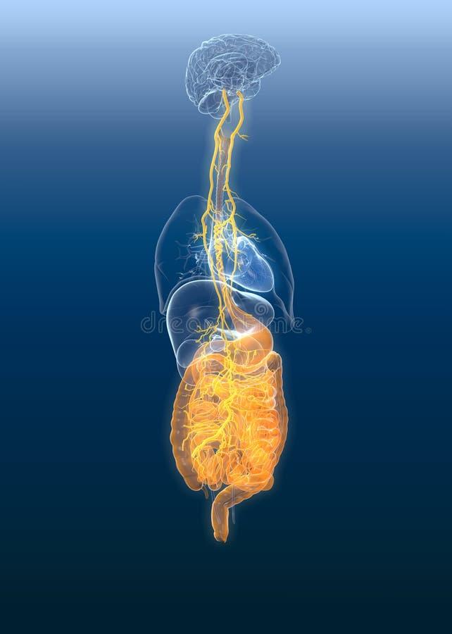Nervio de nervio vago con el estómago y el sistema digestivo, del painul médicamente ejemplo 3D stock de ilustración