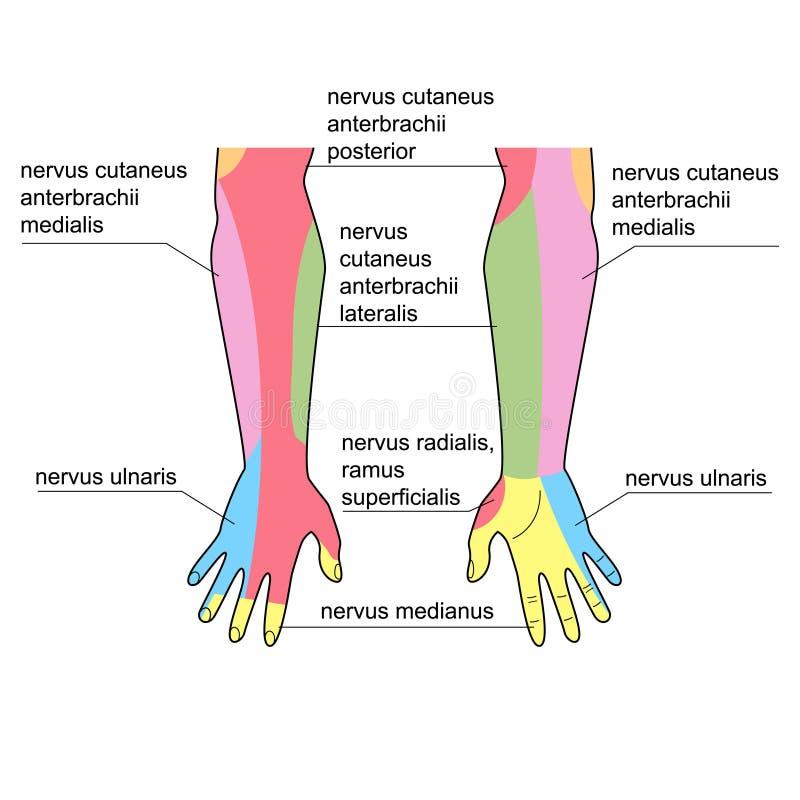 Nervios de la mano ilustración del vector. Ilustración de ciencia ...