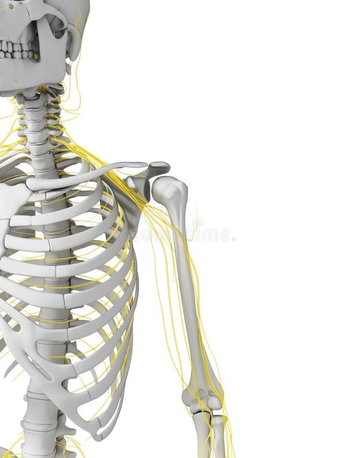 Nervos e esqueleto ilustração stock