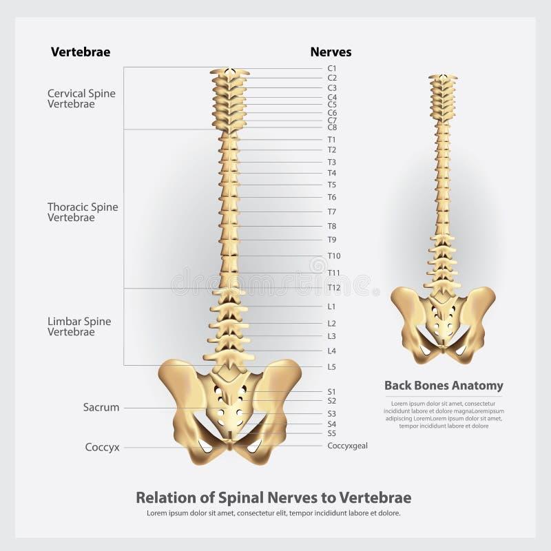 Nervos espinais e segmentos e raizes das vértebras ilustração stock