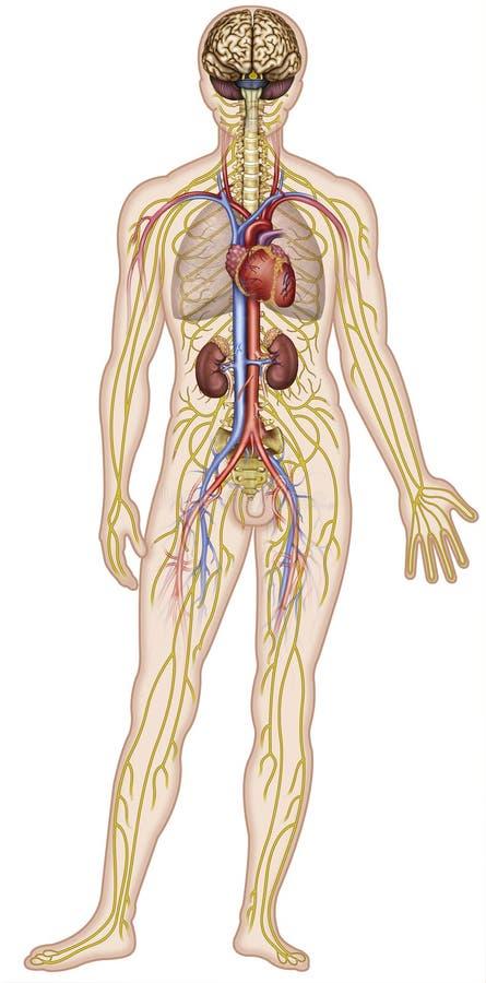 Nervoso e apparati circolatori dell'illustrazione del corpo umano di una figura umana illustrazione vettoriale