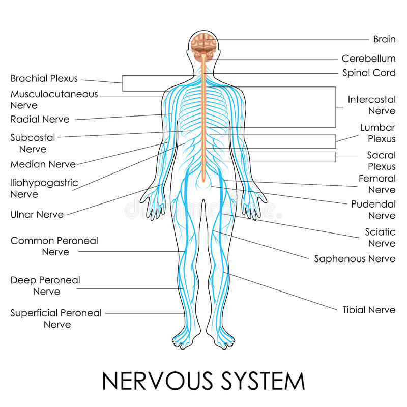 Free Nervous System Royalty Free Stock Image - 39773416