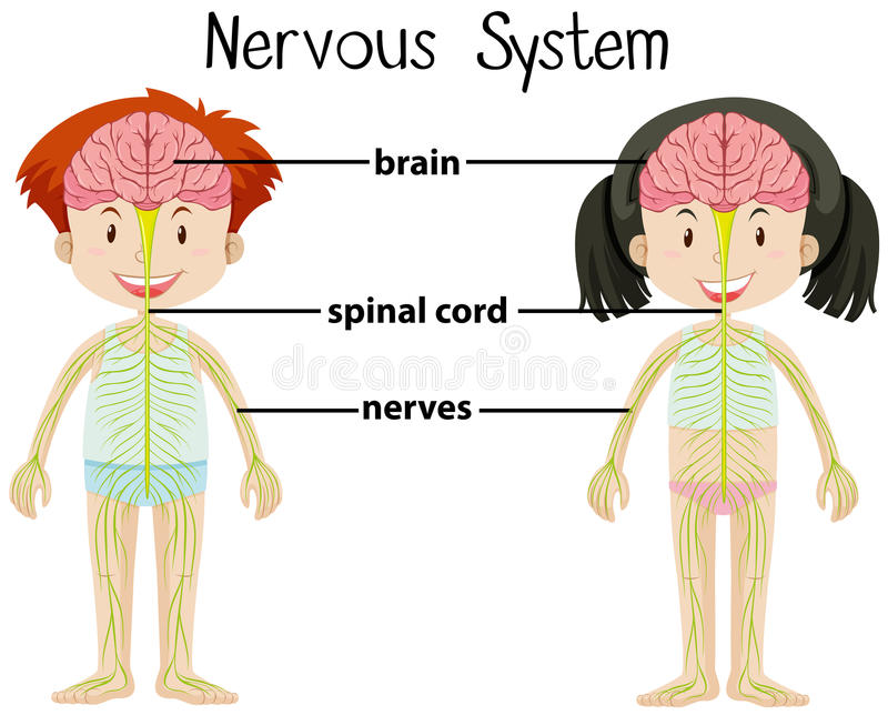 Nervous System Of Boy And Girl Stock Vector Illustration Of Health