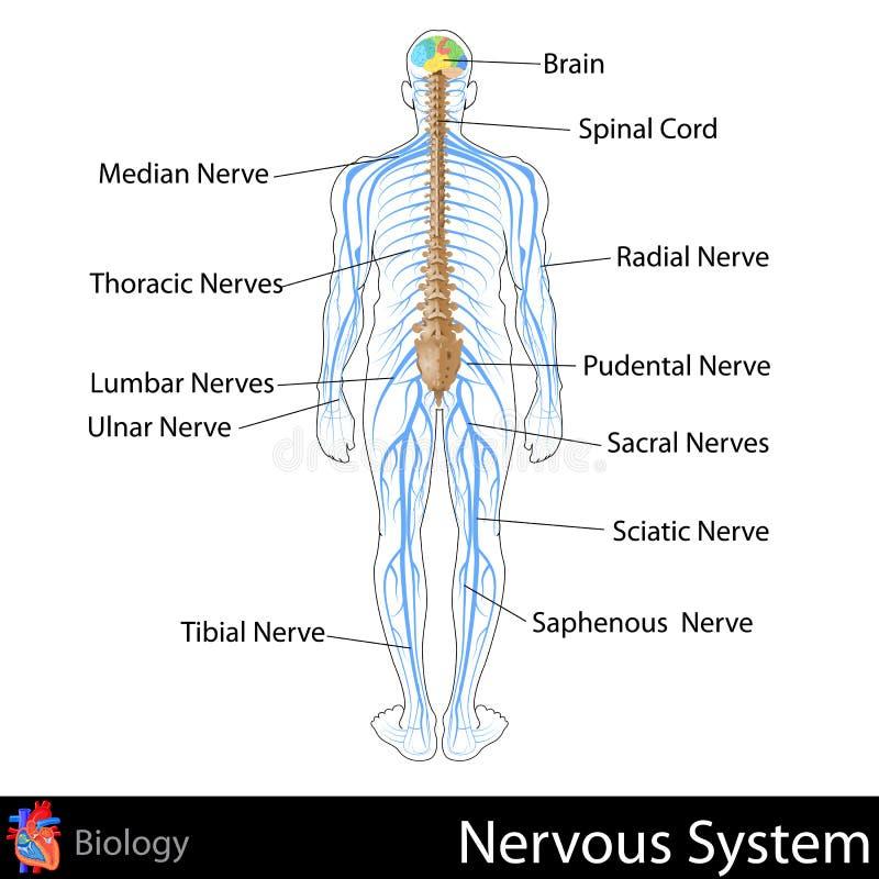 Nervous System. Easy to edit illustration of nervous system stock illustration