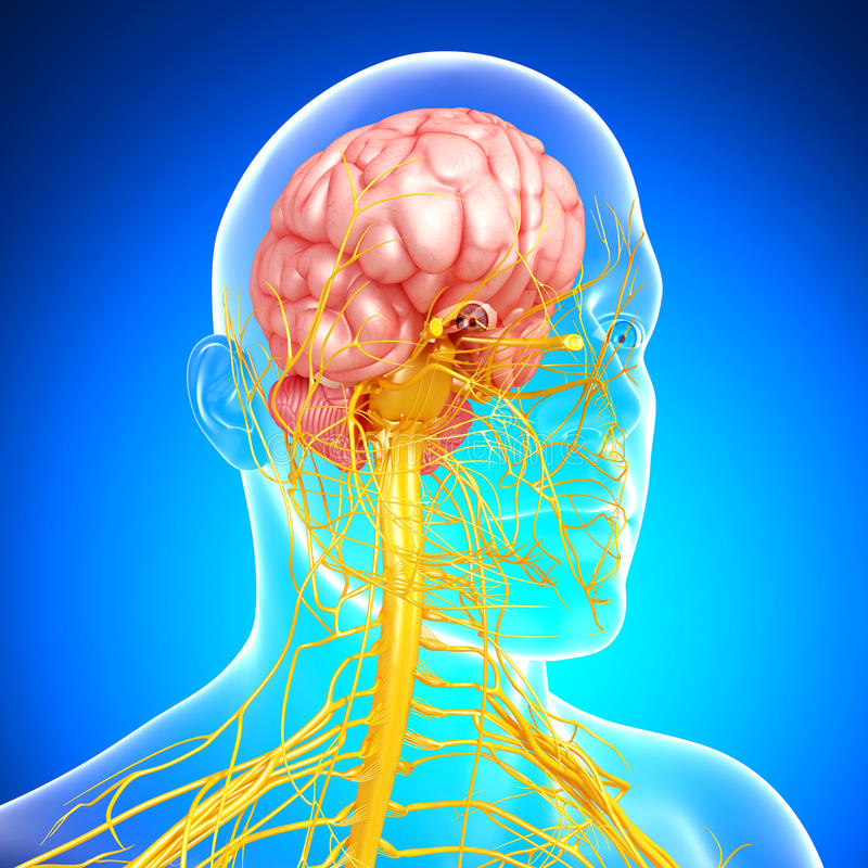 Nervous system of head and brain in blue