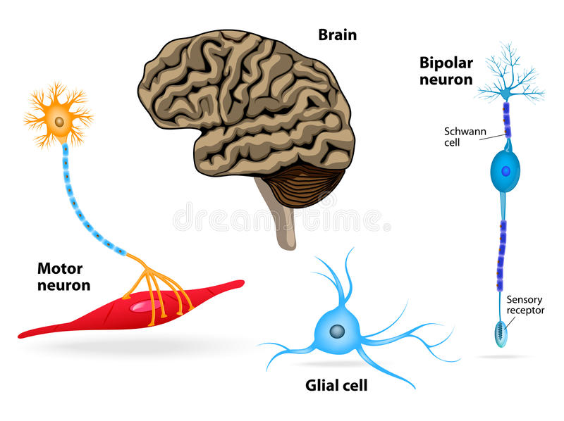 Nervous system. Human anatomy. Brain, motor neuron, glial and Schwann cell, sensory receptor and bipolar neuron stock illustration