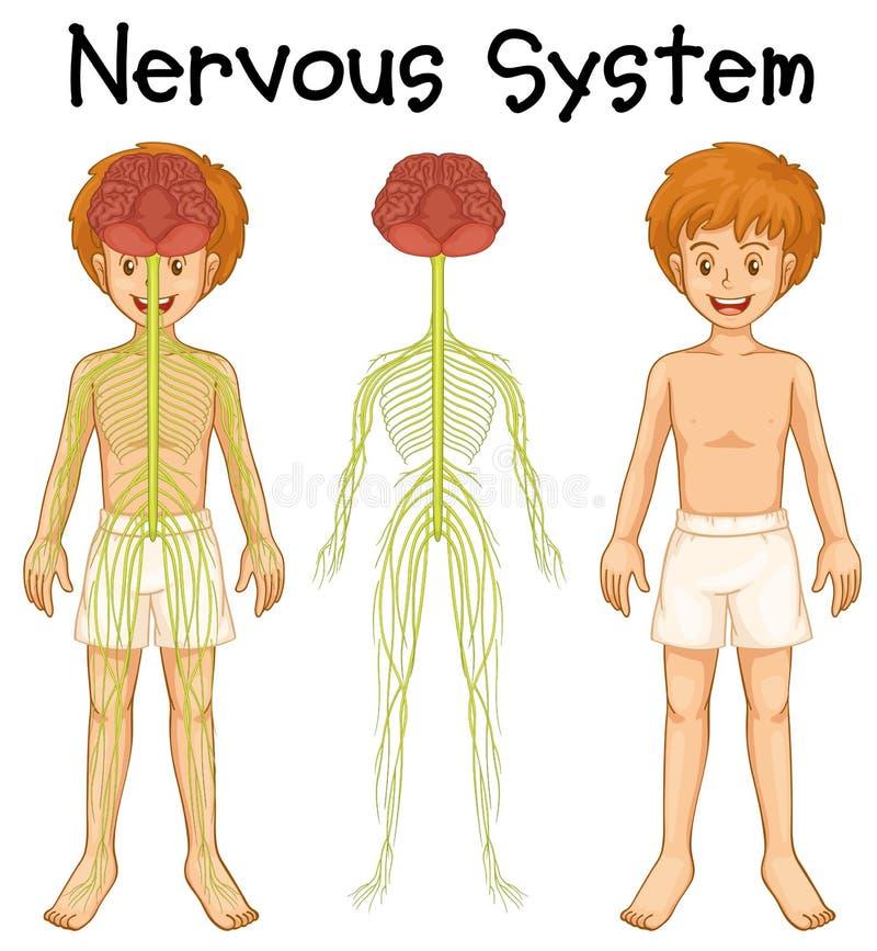 Nervous system of human boy vector illustration