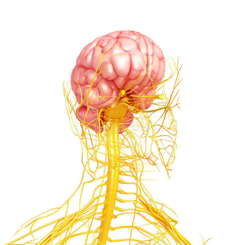 Nervous System Of Human Front Side View Stock Illustration ...