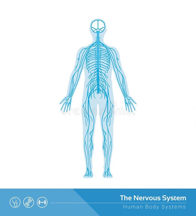 The nervous system. The human nervous system vector medical illustration stock illustration