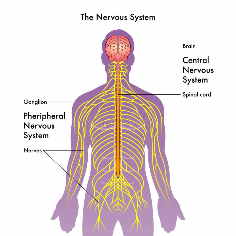 Nervous system illustration royalty free illustration