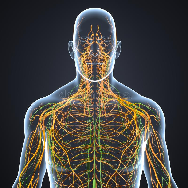 Nerves and Lymph nodes with Body Anterior view royalty free illustration