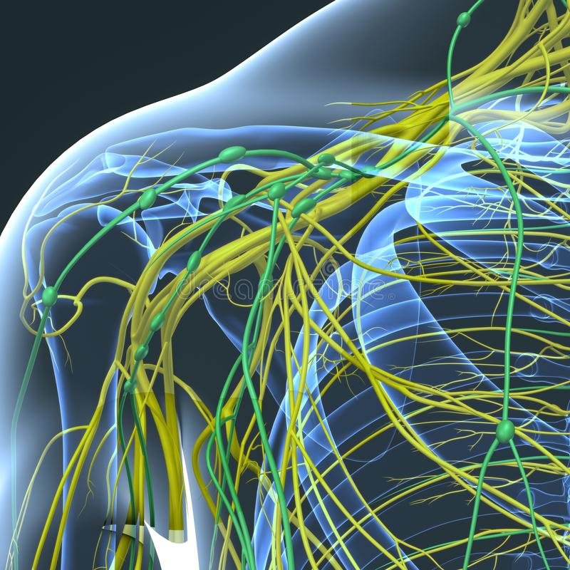 Nerves and Lymph nodes at Shoulder Blade. The nervous system is the part of an animal that coordinates its actions by transmitting signals to and from different stock illustration