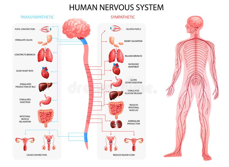 Nervous System Realistic Chart. Human body nervous system sympathetic parasympathetic charts with realistic  organs depiction and anatomical terminology vector stock illustration