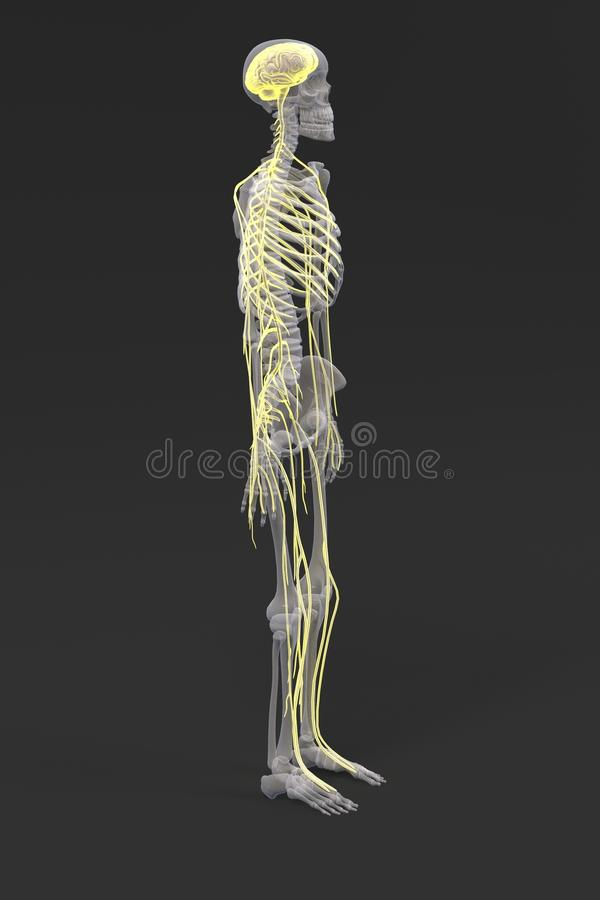 Nervsystem vektor illustrationer