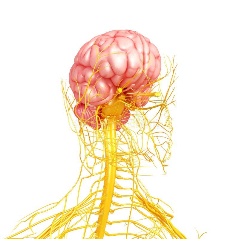 Nervsystem av den mänskliga sikten för främre sida royaltyfri illustrationer