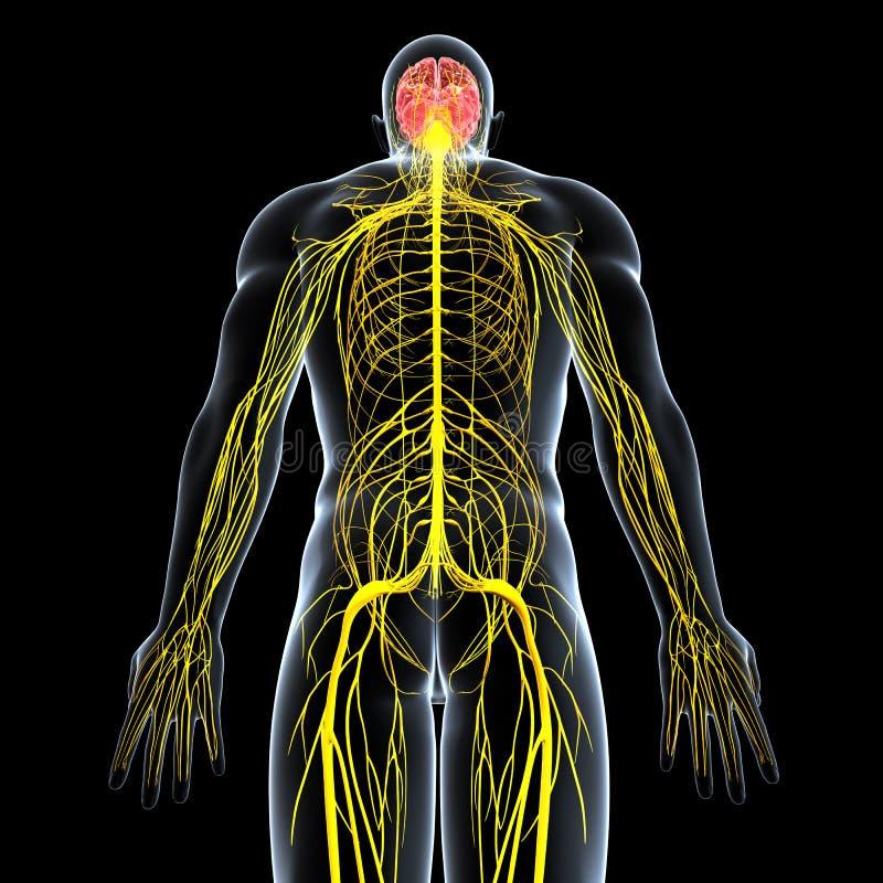 nervsystem av manlign med den fulla tillbaka huvuddelen stock illustrationer