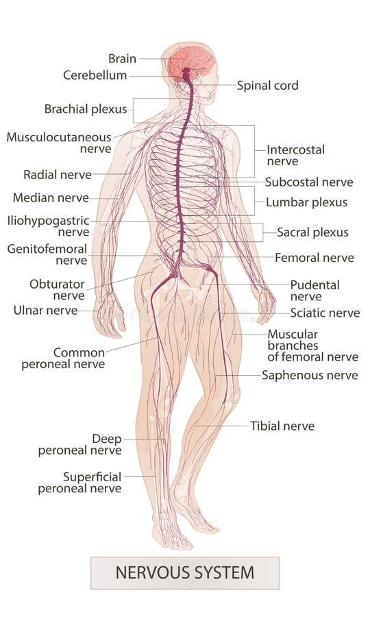 Nervsystem Hand fot, näsa Mananatomi Handen drunknar vektorn skissar den isolerade illustrationen royaltyfri illustrationer