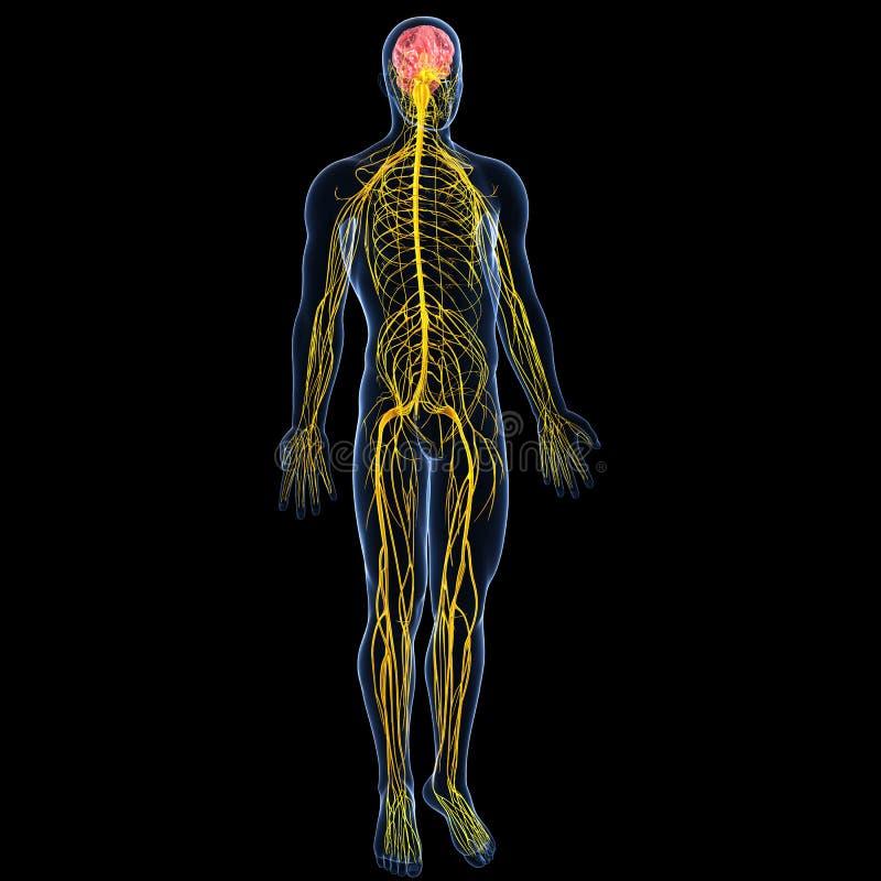 Nervsystem med den fulla huvuddelen av manlign stock illustrationer