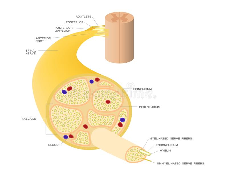Nervsystemanatomi stock illustrationer