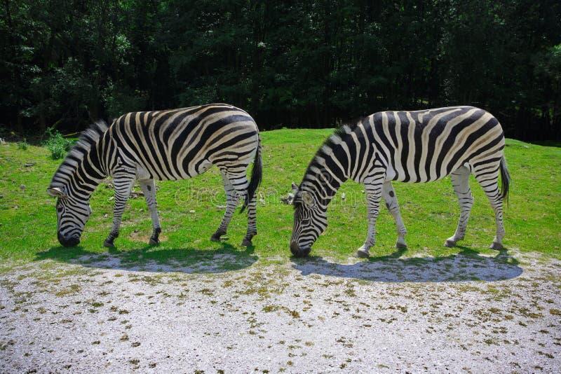 Nervures de safari image libre de droits