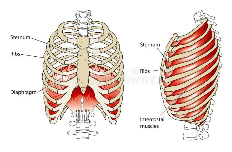 Nervures et membrane illustration stock