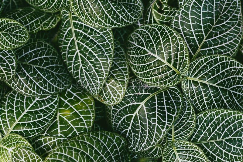 Nervväxt, vetenskapligt namn: Fittonia verschaffeltii Lem , royaltyfria foton