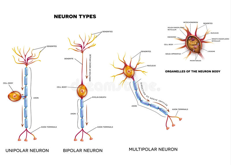 Nerw komórki organelles i typ royalty ilustracja