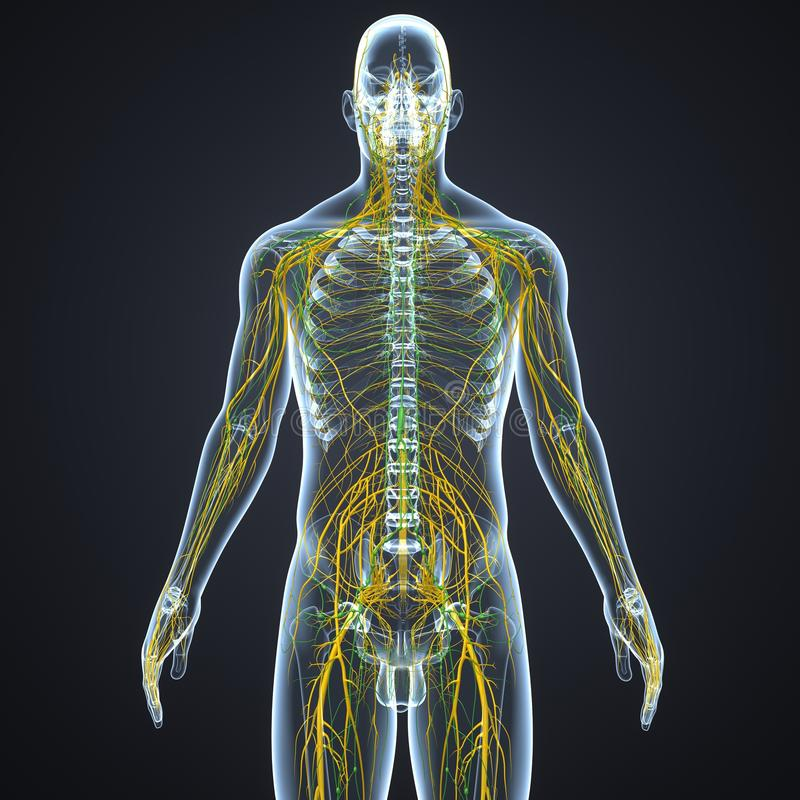Nerwy i limfa guzki z Zredukowanym ciałem ilustracji