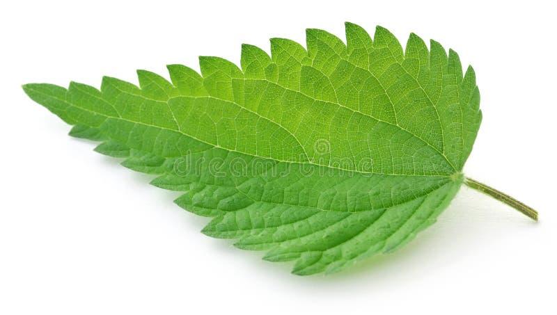 Nessel-Blätter lizenzfreie stockbilder