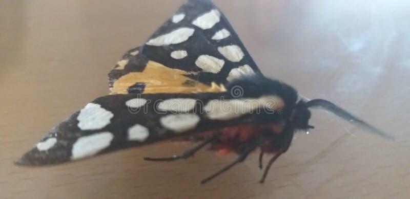 Nessuna farfalla di nome che ha rotto la sua gamba fotografia stock libera da diritti