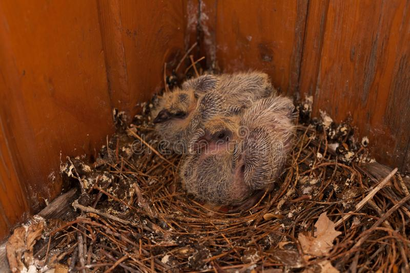 A nest of baby birds Dove Wild Bird House royalty free stock photo