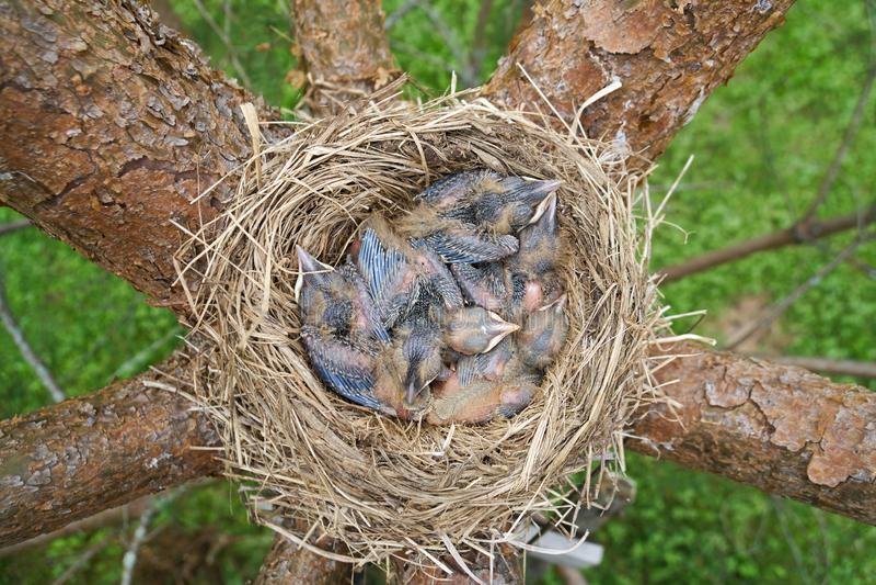 Nest of a bird with sleeping newborn thrush nestlings located on the pine tree royalty free stock image