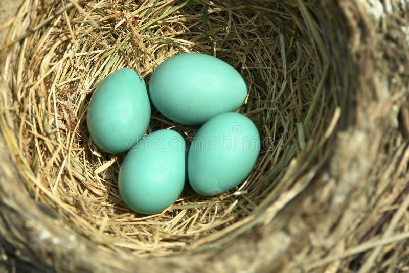 nest blåa ägg för fågel robinen fotografering för bildbyråer