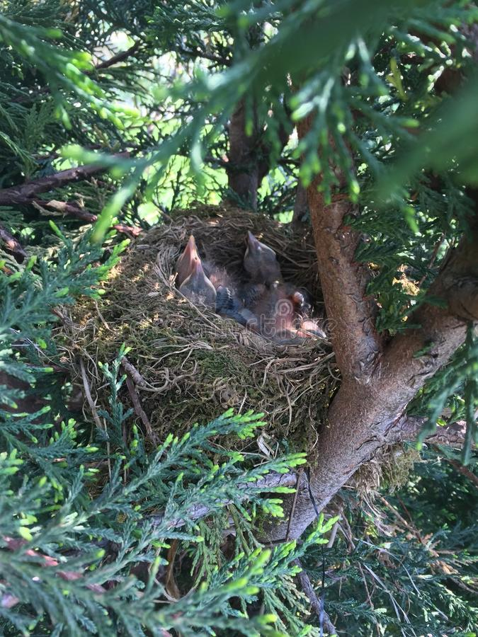 Nest of Blackbird with four baby bird!!! Waiting food!! royalty free stock image