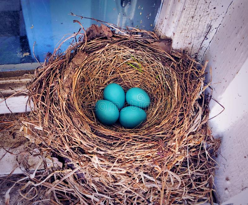 A nest of blue American robin birds eggs royalty free stock photo