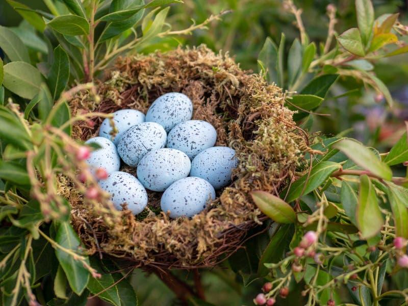 Nest of 9 blue jay eggs sitting in nest stock photos